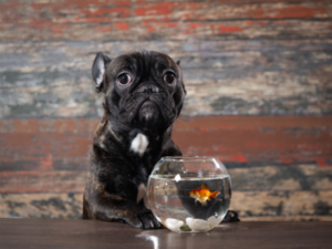 The Attention Span of a Goldfish (Video)